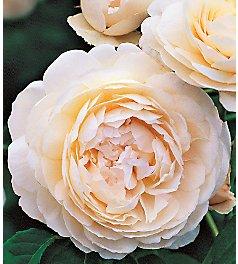 Розы Девида Остина — Kievflower - Доставка цветов