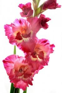 Гладиолус — Kievflower - Доставка цветов