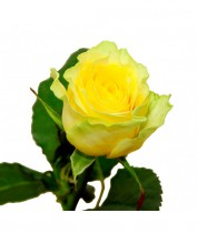 Роза желтая Украина 60-70 см.