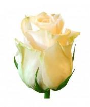 Роза кремовая Украина 60-70 см.