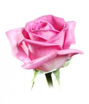 Роза розовая 60-70 см.