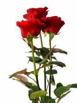 Три красных розы