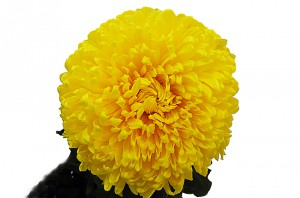 Хризантема садовая — Цветы поштучно заказать с доставкой в KievFlower.  Артикул: 7005 (1)