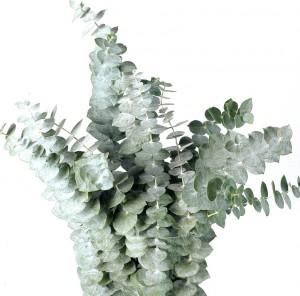 Эвкалипт-— Цветы поштучно заказать с доставкой в KievFlower.
