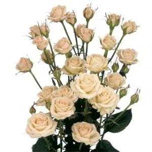 Роза кустовая — Цветы поштучно заказать с доставкой в KievFlower.  Артикул: 70041
