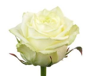 Роза белая Украина 60-70 см. — Цветы поштучно заказать с доставкой в KievFlower.  Артикул: 70021