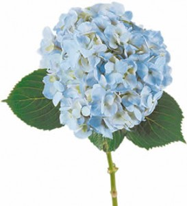 Гортензия — Цветы поштучно заказать с доставкой в KievFlower.  Артикул: 8018