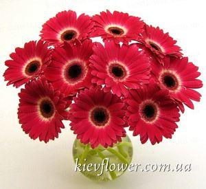 Букет из 11 бордовых гербер — Букеты цветов заказать с доставкой в KievFlower.  Артикул: 1096