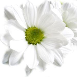 Хризантема кустовая — Цветы поштучно заказать с доставкой в KievFlower.  Артикул: 7005
