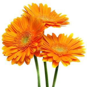 Гербера — Цветы поштучно заказать с доставкой в KievFlower.  Артикул: 7006