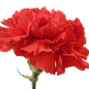Гвоздика — Цветы поштучно заказать с доставкой в KievFlower.  Артикул: 7008