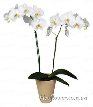 Орхидея Фаленопсис белая — Орхидеи заказать с доставкой в KievFlower.  Артикул: 8004