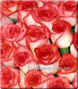 Роза Blush — Голландские розы заказать с доставкой в KievFlower.  Артикул: 1302