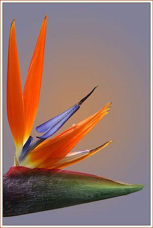 Стрелиция — Цветы поштучно заказать с доставкой в KievFlower.  Артикул: 8016