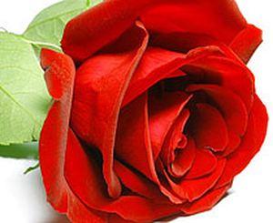 Роза Голландия 80-100 см (цвет на выбор) — Цветы поштучно заказать с доставкой в KievFlower.  Артикул: 70011