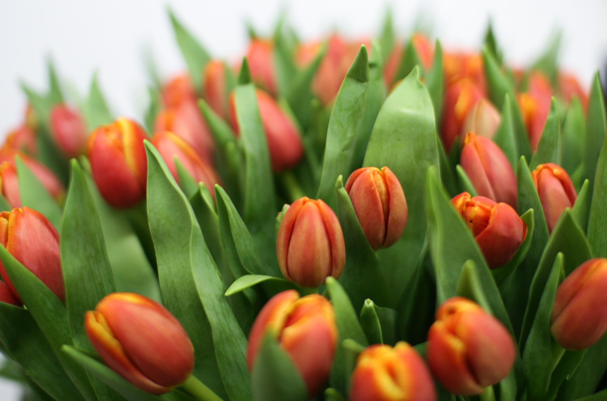 картинка из трех тюльпанов